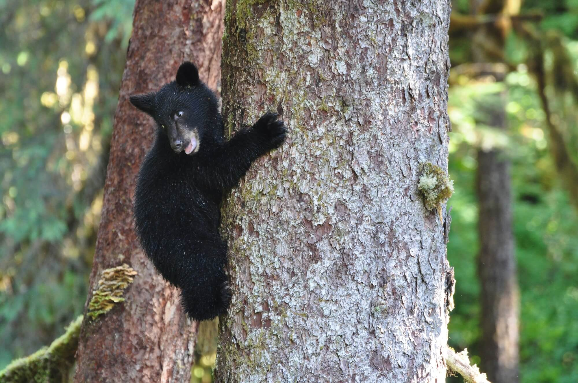 https://taquanair.com/wp-content/uploads/2018/08/Alaska-Bear-cub-in-tree.jpg